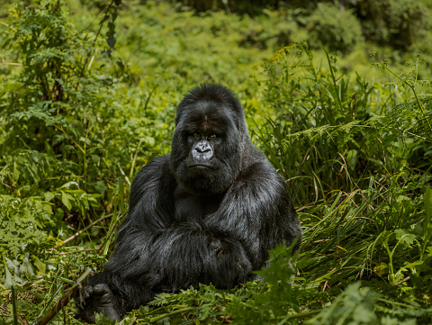 Frowning「Adult mountain gorilla is sitting and looking to the camera.」:スマホ壁紙(7)