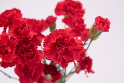 カーネーション「Red carnations」:スマホ壁紙(17)