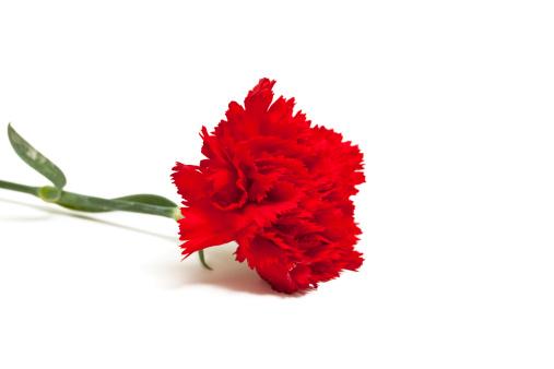 Carnation - Flower「red carnation」:スマホ壁紙(13)