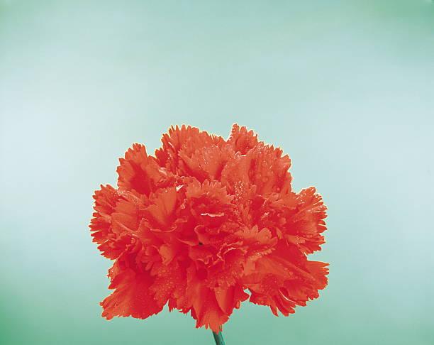 Red Carnation:スマホ壁紙(壁紙.com)