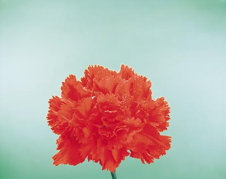 カーネーション「Red Carnation」:スマホ壁紙(10)
