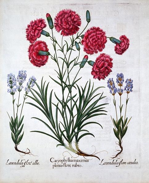 カーネーション「Red Carnation And Lavender」:写真・画像(9)[壁紙.com]