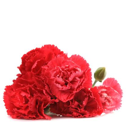 カーネーション「red carnation flowers」:スマホ壁紙(8)