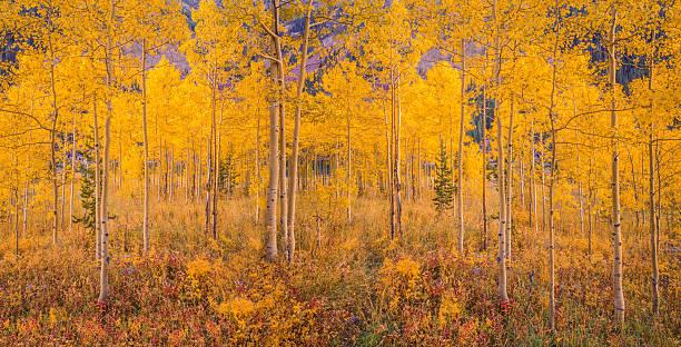 Autumn aspen tree forest in the Rocky Mountains, CO:スマホ壁紙(壁紙.com)