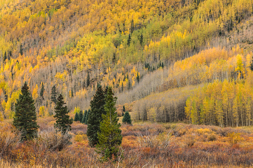 Uncompahgre National Forest「Autumn aspen trees on mountain slope」:スマホ壁紙(19)