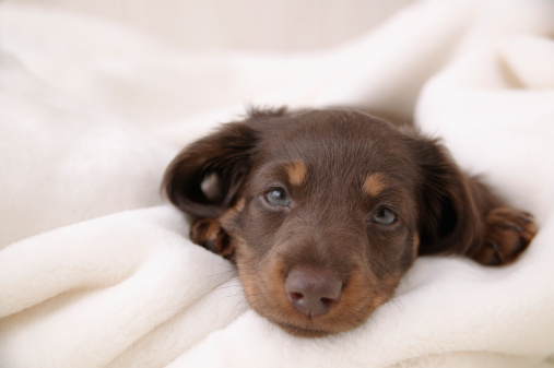 カメラ目線「Sleepy face of Miniature Dachshund」:スマホ壁紙(4)