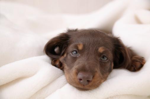 カメラ目線「Sleepy face of Miniature Dachshund」:スマホ壁紙(3)