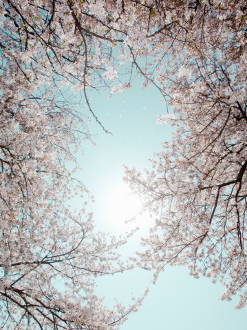 Cherry Blossoms「Full blooming cherry tree,low angle view」:スマホ壁紙(7)