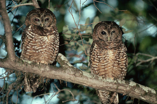 1980-1989「Northern Spotted Owls」:スマホ壁紙(9)