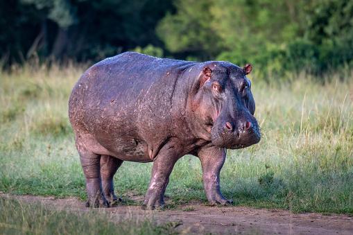 Hippopotamus「Hippo on land」:スマホ壁紙(15)