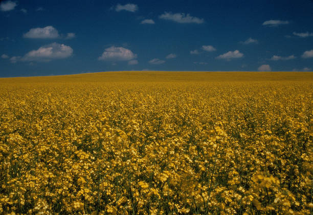 Field of Oilseed Rape:スマホ壁紙(壁紙.com)