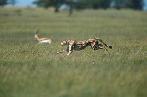 Antelope「Cheetah (Acinonyx jubatus) chasing a gazelle, side view, Masai Mara, Kenya」:スマホ壁紙(15)