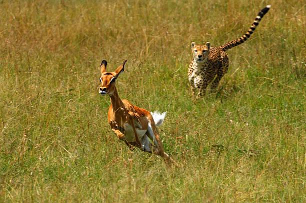 Cheetah (Acinonyx jubatus) chasing female Impala (Aepyceros melampus). Olare Orok Conservancy, Masai Mara, Narok District, Kenya:スマホ壁紙(壁紙.com)
