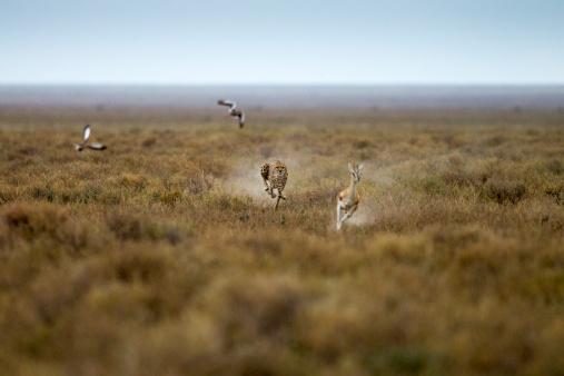 Animals Hunting「Cheetah Chases Gazelle, Ngorongoro, Tanzania」:スマホ壁紙(15)