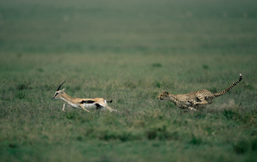 Animals Hunting「Cheetah (Acinonyx jubatus) chasing male Thomson's Gazelle」:スマホ壁紙(14)