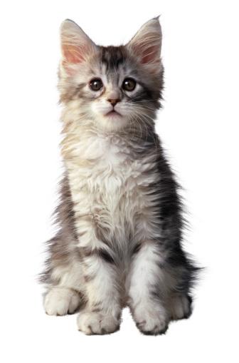 Kitten「Gray Kitten」:スマホ壁紙(4)