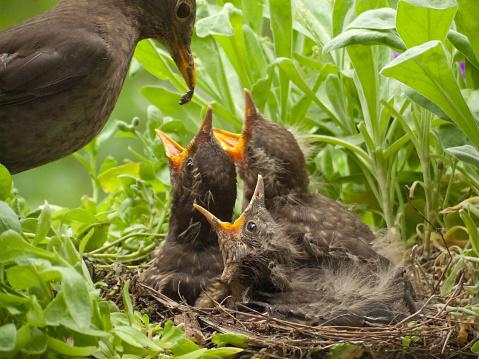 Feeding「blackbird babies 13 days old and mother with worm」:スマホ壁紙(15)