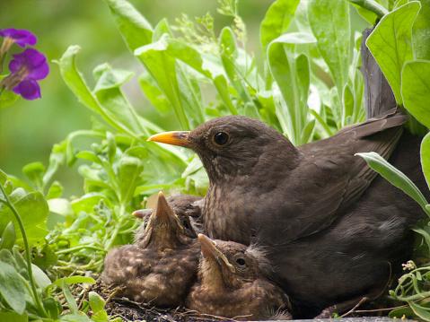 動物の赤ちゃん「Blackbird 赤ちゃんと母」:スマホ壁紙(3)