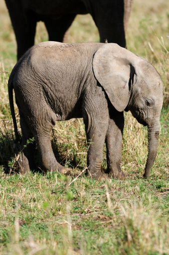 Animal Ear「New Born Wild African Elephant in Front of Mother」:スマホ壁紙(13)