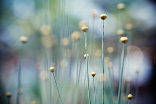 Focus On Foreground「Macro Close-Up of Tiny Flower Buds on Stems」:スマホ壁紙(2)