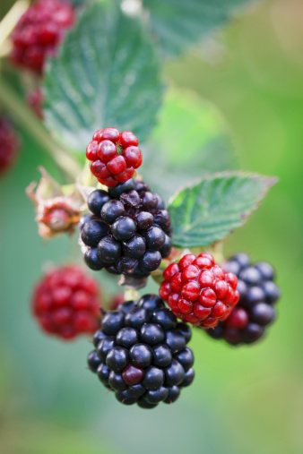 Blackberry - Fruit「Macro close-up of blackberries ripening on a branch, backlit」:スマホ壁紙(12)