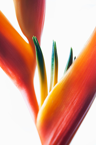 Heliconia「A macro close-up of a beautiful orange and yellow Heliconia flower against a white background」:スマホ壁紙(4)