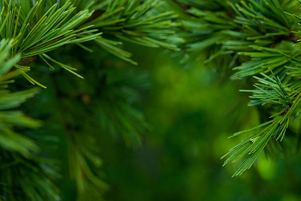 Macro close-up of bright green Fir tree branches:スマホ壁紙(壁紙.com)