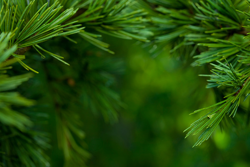 Twig「Macro close-up of bright green Fir tree branches」:スマホ壁紙(16)