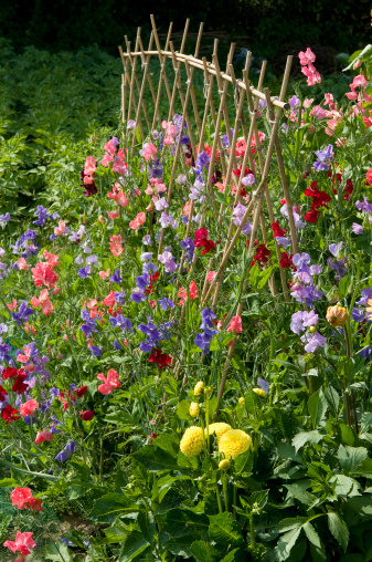 Support「Mixed sweet pea flowers (Lathyrus odoratus) with cane supports」:スマホ壁紙(2)