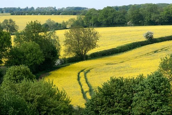 Oilseed Rape「Suffolk Countryside」:写真・画像(18)[壁紙.com]