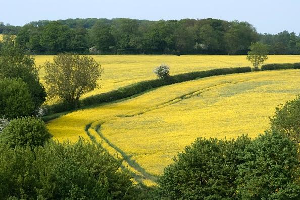 Oilseed Rape「Suffolk Countryside」:写真・画像(19)[壁紙.com]