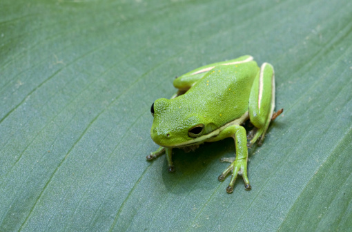 Charleston - South Carolina「Green Treefrog, Hyla cinerea, Magnolia Plantation & Gardens, Charleston, South Carolina, USA. Usually bright green, but the color is variable. Many individuals have golden spots on their backs.」:スマホ壁紙(9)