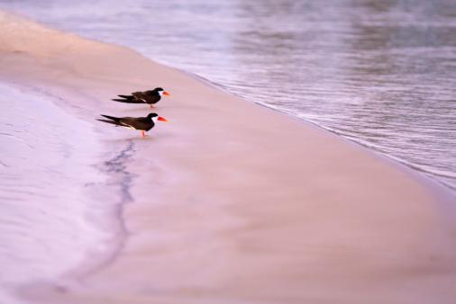 Caprivi Strip「African Skimmers walking on beach, Okavango River, Caprivi Strip, Namibia」:スマホ壁紙(6)