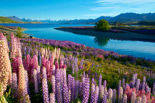 New Zealand「Lupins At Lake Tekapo」:スマホ壁紙(19)