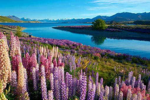 Wildflower「Lupins At Lake Tekapo」:スマホ壁紙(8)