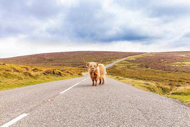toll road with a giant highland cow as toll collector:スマホ壁紙(壁紙.com)