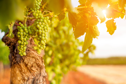 Grape「Green grapes」:スマホ壁紙(2)
