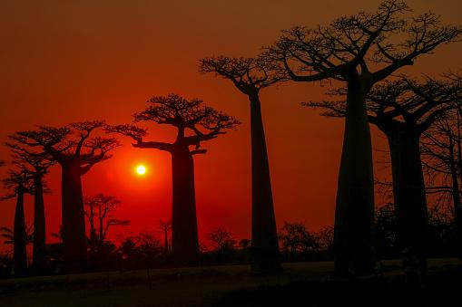 East Africa「Baobab Avenue at sunset.」:スマホ壁紙(12)