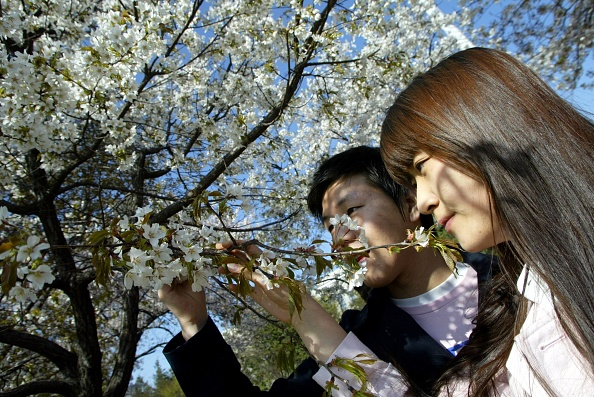 Flower Head「Cherry Blossoms Are In Full Bloom In South Korea」:写真・画像(8)[壁紙.com]