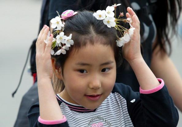 Petal「Cherry Blossoms Bloom In South Korea」:写真・画像(8)[壁紙.com]