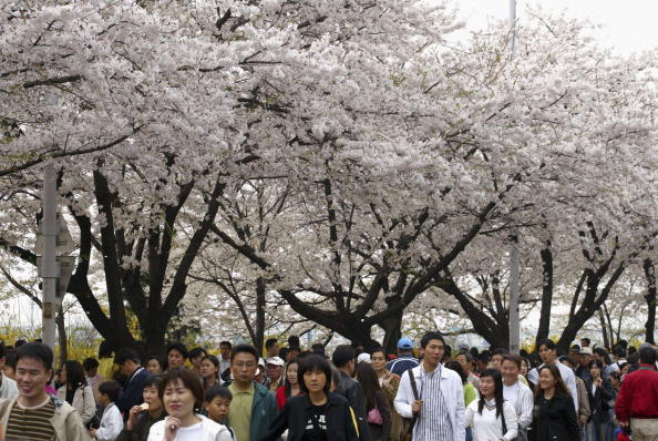 Petal「Cherry Blossoms Bloom In South Korea」:写真・画像(6)[壁紙.com]