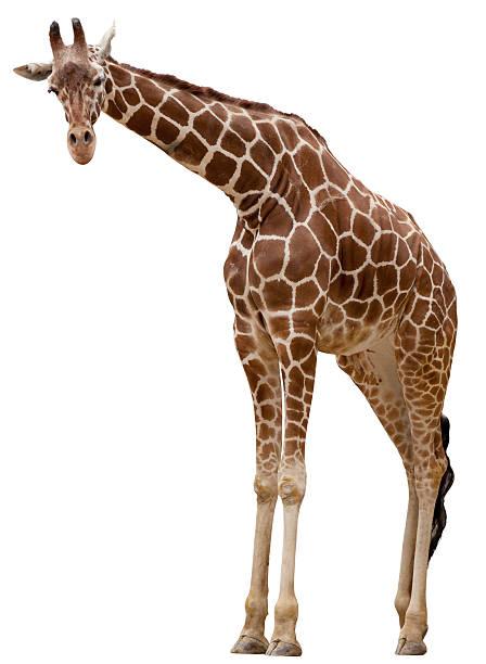 Curious giraffe:スマホ壁紙(壁紙.com)