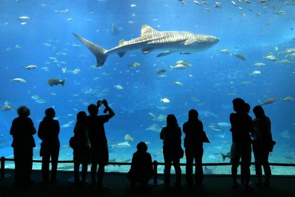 Animals In Captivity「Okinawa Churaumi Aquarium」:写真・画像(7)[壁紙.com]