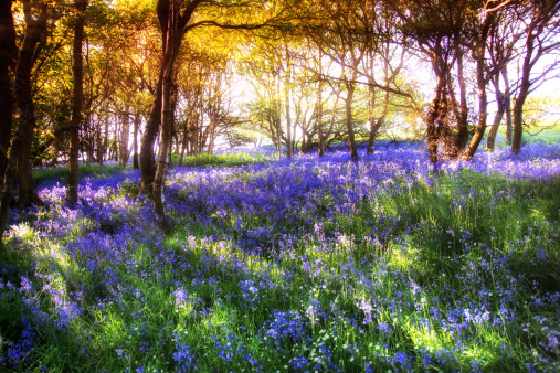 East Lothian「Scotland, Bluebell flower」:スマホ壁紙(12)