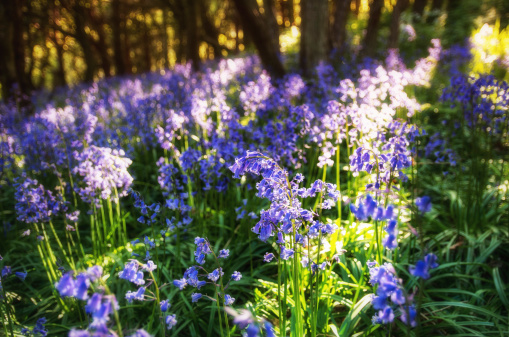 East Lothian「Scotland, Bluebells flower」:スマホ壁紙(5)