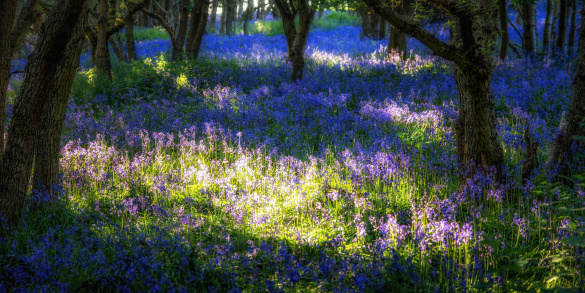 East Lothian「Scotland, Bluebell flowers」:スマホ壁紙(6)