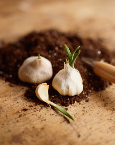 Garlic Clove「Garlic cloves in dirt」:スマホ壁紙(7)