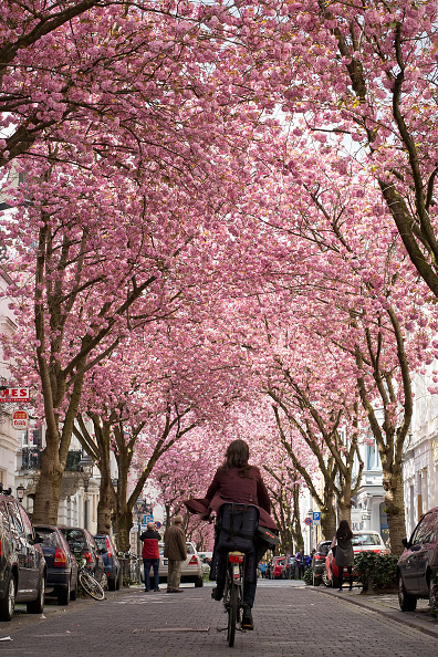 桜「Cherry Blossoms In Bonn」:写真・画像(7)[壁紙.com]