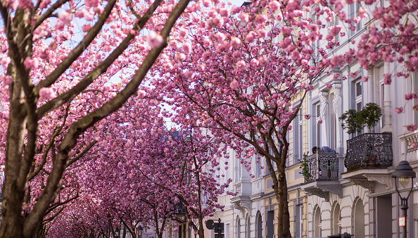 桜「Cherry Blossoms In Bonn」:写真・画像(16)[壁紙.com]