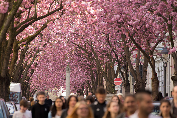 桜「Cherry Blossoms In Bonn」:写真・画像(17)[壁紙.com]